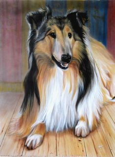 Collie Dog Portrait for my Parents